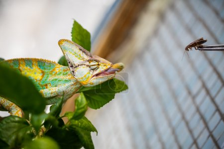 Yemen chameleon is sitting on the branch  and hunting the cockroach