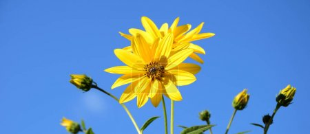 Photo for Yellow flowers of a topinambur in front of blue sky - Royalty Free Image