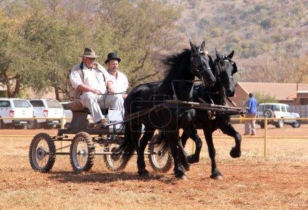 Lovely galloping black Friesian horses pulling cart.