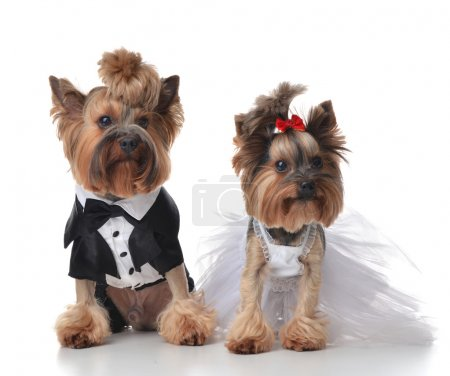 Yorkshire Terriers dressed up for wedding like broom and bride s