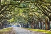 Eichen in Savannah