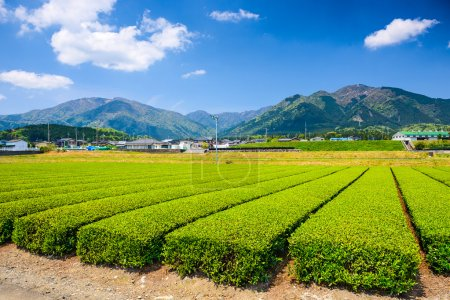 Suizawa Tea Plantation