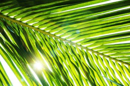 Photo pour Feuille de palmier vert fond avec lumière du soleil - image libre de droit