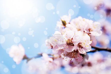 Photo for Spring white blossom against blue sky - Royalty Free Image