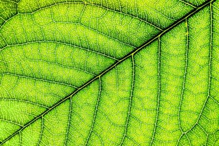 Foto de Fondo de hoja verde de primer plano. Macro - Imagen libre de derechos