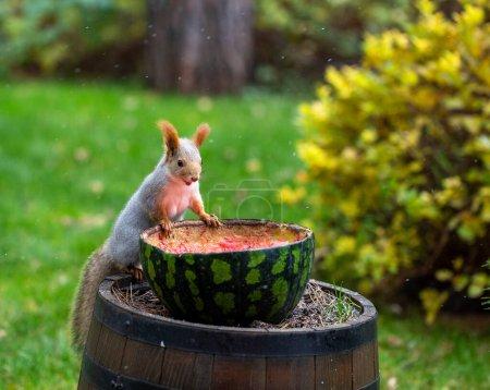 Photo pour Écureuil mangeant des mangeoires de pastèque sous la neige fine et la pluie battante dans le jardin en automne - image libre de droit