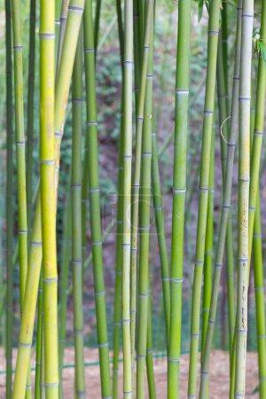 Photo pour Texture du tronc de bambou vert - image libre de droit