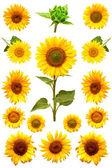 Sada kvetoucí slunečnice