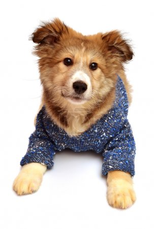 Puppy dog wearing sweater