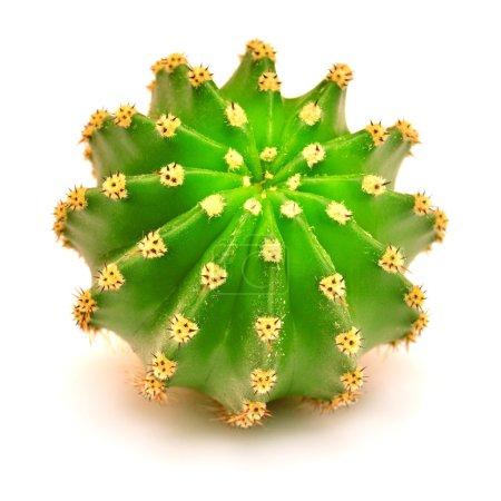 Photo pour Cactus geen rond isolé sur fond blanc - image libre de droit