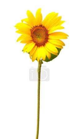 Single sunflower on white