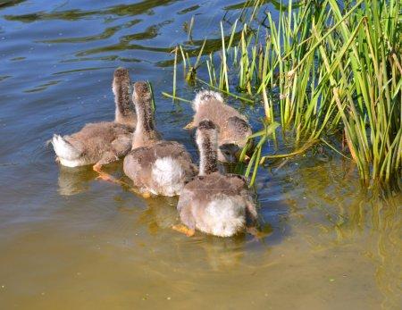 Photo pour Quatre jeunes canetons mignons nageant dans la rivière - image libre de droit