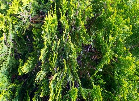 Thuja tree twids.