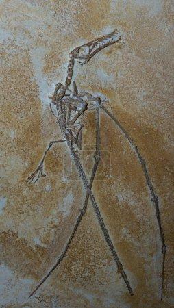 Photo pour Gros plan d'un fossile de dinosaure bien conservé - image libre de droit