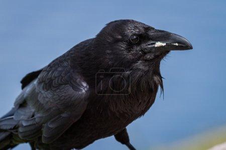 crow close up