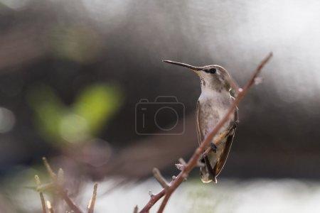 Photo pour Colibri femelle adulte perché sur une petite branche. Colibri à tête noire (Archilochus alexandri) ). - image libre de droit