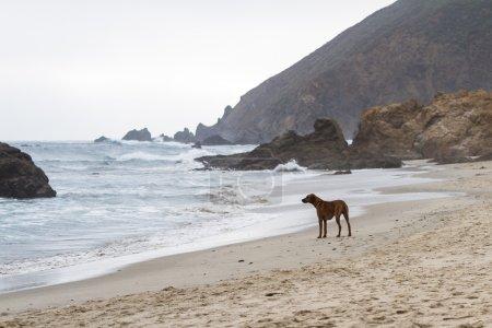 Photo pour Seul chien inquiet sur la plage attendant son meilleur ami qui surfe sur une plage dangereuse - image libre de droit