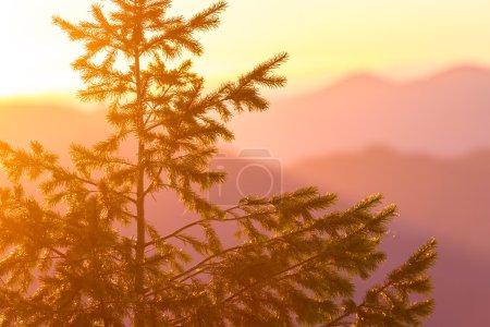 Duoglas fir at sunset