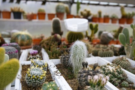 Cactus in greenhouse growing, selective focus.