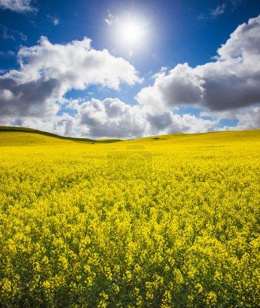 Photo pour Magnifique champ de canola de printemps - image libre de droit