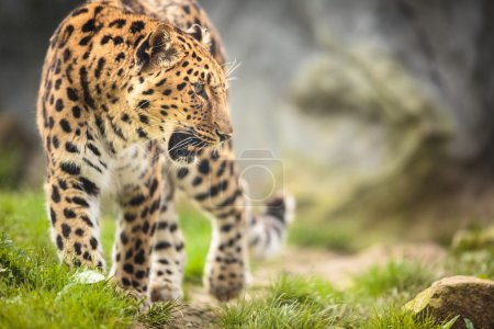 Amur Leopard in nature