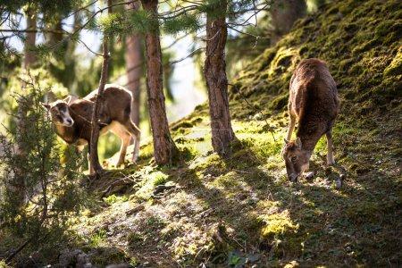 The mouflon (Ovis orientalis)...