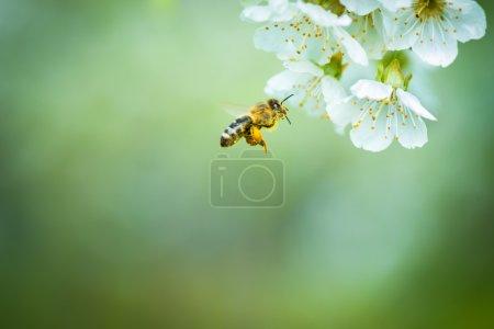 Honey bee in flight at cherry tree