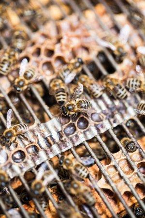 Photo pour Coup de macro d'abeilles essaimage sur un nid d'abeilles - image libre de droit