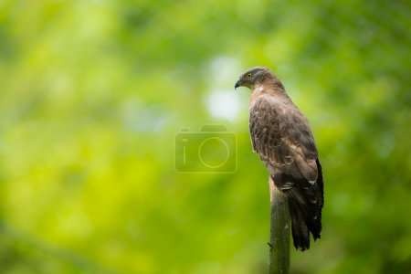 Majestic European honey buzzard perching on a dead tree