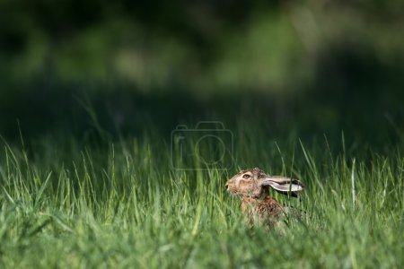 Photo for Brown hare in grass (Lepus europaeus) - Royalty Free Image