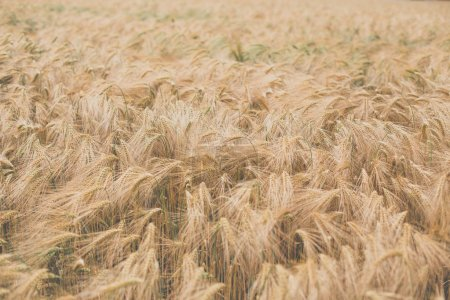 Ripe barley (lat. Hordeum) - low contrast image, looking dreamy