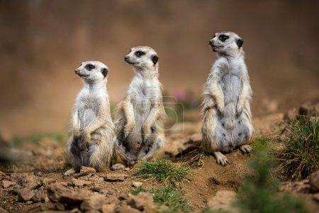 Watchful meerkats standing guard