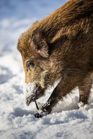 Photo for Wild boar (Sus scrofa) - Royalty Free Image