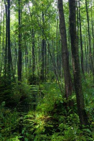 Photo pour Peuplement ombragé naturel d'aulne-carr de la forêt de Bialowieza avec de l'eau stagnante au lever du soleil - image libre de droit