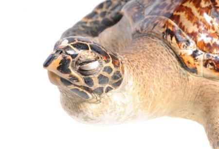 illegal mounted hawksbill sea turtle - critically endangered sea