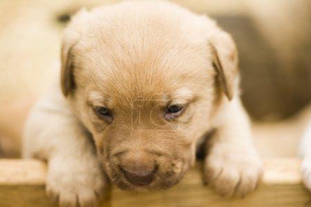 Cute labrador puppys
