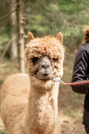 Holding alpaca by rein