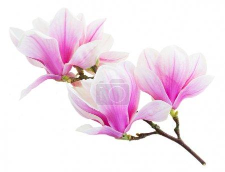 Photo pour Brunch avec boutons floraux roses magnolia isolé sur fond blanc - image libre de droit