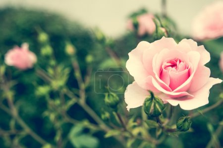 Photo for Pink rose bush with flowers and green buds - Royalty Free Image
