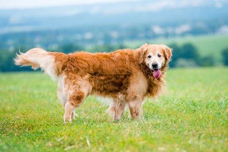Golden Retriever on field