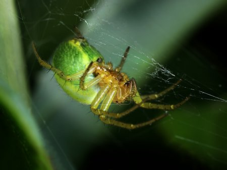 Green spider weaving web macro