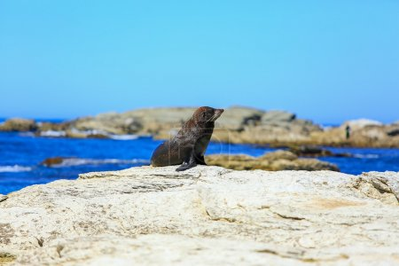 Wild seal at Seal colony coastal in Kaikoura, New Zealand
