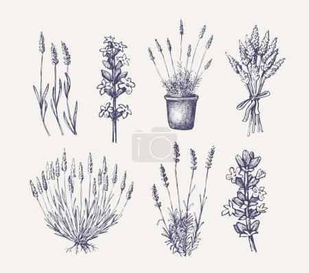 Illustration for Vector hand drawn lavender set on white - Royalty Free Image
