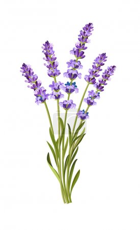 Illustration for Vector bunch of lavender on white background - Royalty Free Image