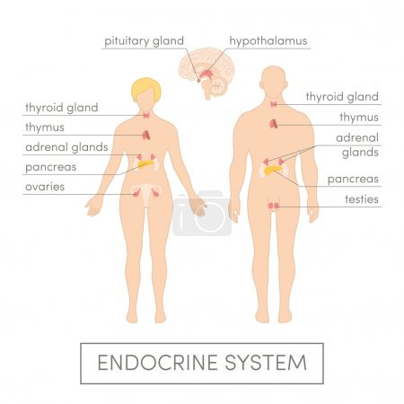 Endocrine system of human
