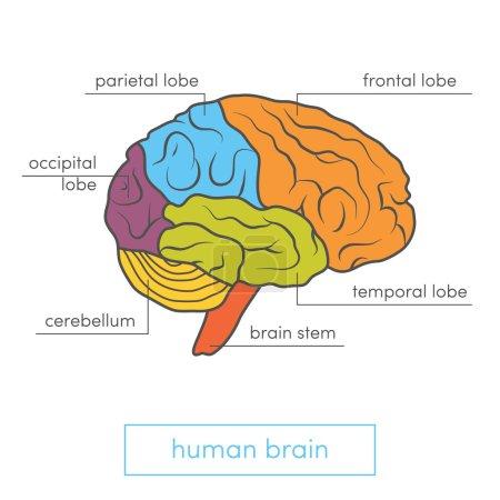 Profile view of human brain