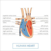 Human heart anatomy cartoon