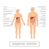 Digestive system of human