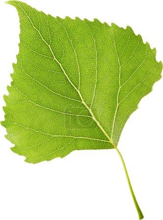 Photo pour Feuille verte isolée sur fond blanc. Contexte naturel . - image libre de droit