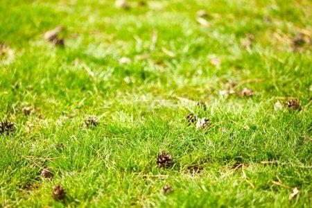 Photo pour Herbe verte et pommes de pin. Contexte naturel - image libre de droit